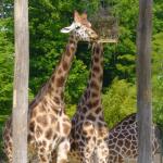 Girafes au zoo d'Amnéville